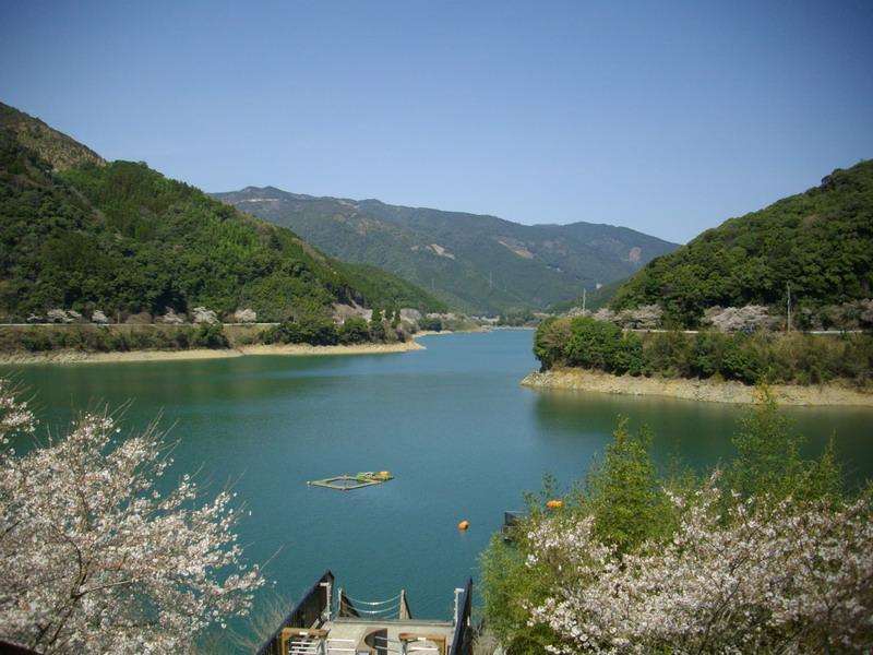 市房ダムの一万本桜