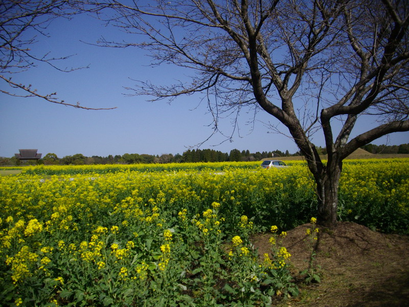 菜の花咲き乱れる西都
