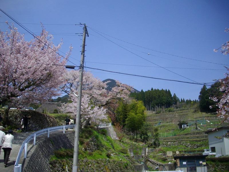 桜と大洞山?