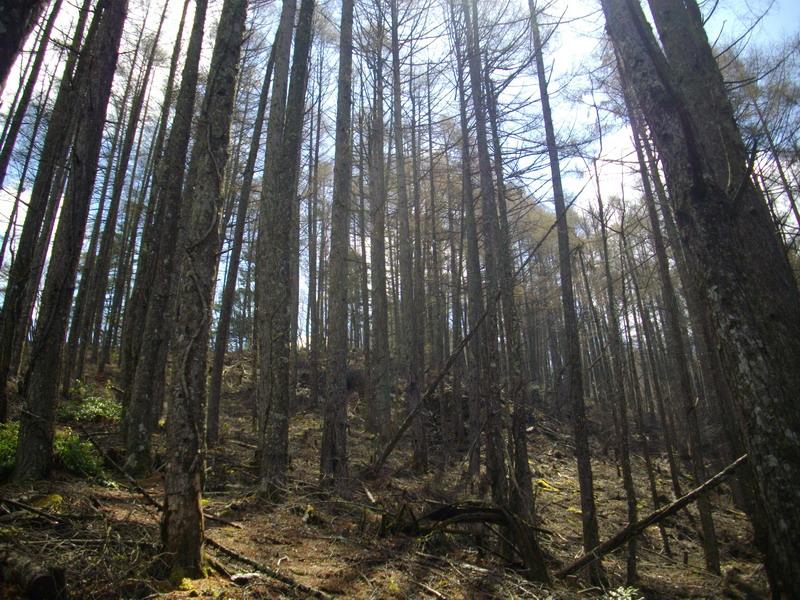空を見ながら松林の中を急登